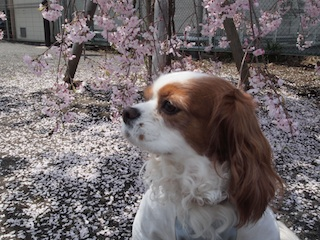 枝垂れ桜と1.jpg