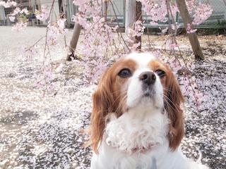 桜の絨毯2.jpg