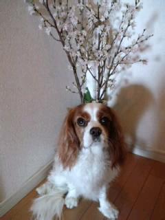 満開の啓翁桜と.jpg